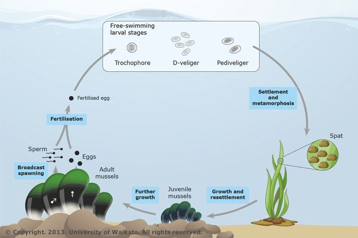 Mussel life cycle biotech learning hub mussel life cycle ccuart Image collections
