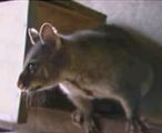 Researching biological control of possums: The ethics