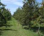 Apple germplasm collection