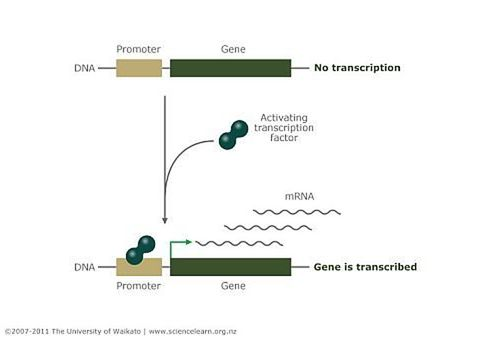 Transcription factor binding to DNA