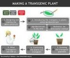 Making a transgenic plant