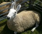 Border Leicester sheep were selected for their bare heads and legs.