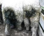Dags accumulate in wool around a sheep's backside and attract blowflies, leading to flystrike.