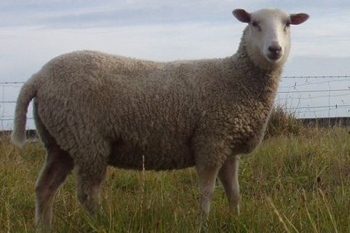 Easy care sheep are bred to have less wool in key areas making them easier and cheaper to maintain.