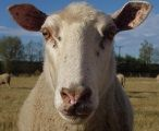 Easy care sheep have less wool on their head and face so their eyes don't get covered and their wool stays cleaner.