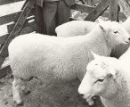 Professor Geoffrey Peren developed Perendale sheep by crossing Cheviot and Romney – they were named in his honour.