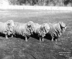 Merino sheep, another popular New Zealand breed, were traditionally bred with wrinkly skin to increase the surface area of skin so they grew more wool.
