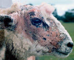 Possible risks of easy care sheep.