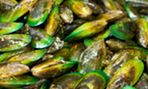 Farming green-lipped mussels.