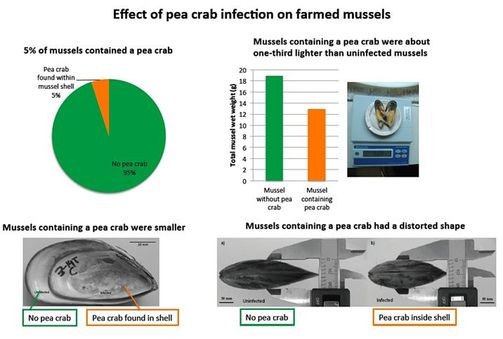 How pea crabs affect farmed mussels