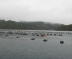 A green-lipped mussel farm near Great Barrier Island.