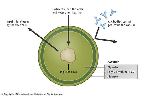 Encapsulated pig islet diagram.