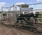 Automatic milking systems and controlling cow movement.