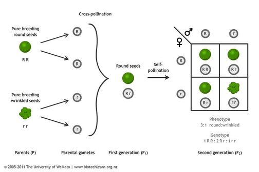 Inheritance of a single trait in peas.