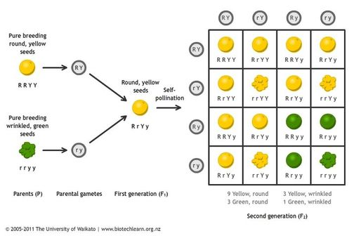 an analysis of gregor mendels principles of inheritance in genetics 4– understanding biological inheritance students were exposed to basic mendelian genetics in grade 9 the story of gregor mendel—article analysis.